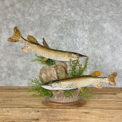 Northern Pike Fish Taxidermy Mount For Sale #25462 @ The Taxidermy Store