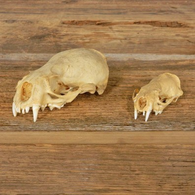 Otter/Mink Skull Mount For Sale #14955 @ The Taxidermy Store