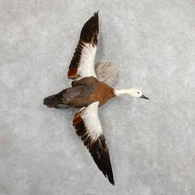 Paradise Shelduck Bird Mount For Sale #19650 @ The Taxidermy Store