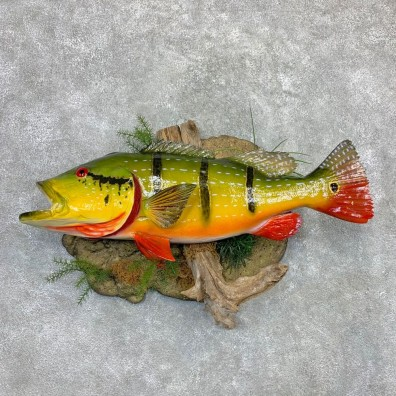 Peacock Bass Fish Mount For Sale #23122 @ The Taxidermy Store