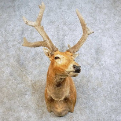 Pere David Deer Shoulder Mount For Sale #15876 @ The Taxidermy Store