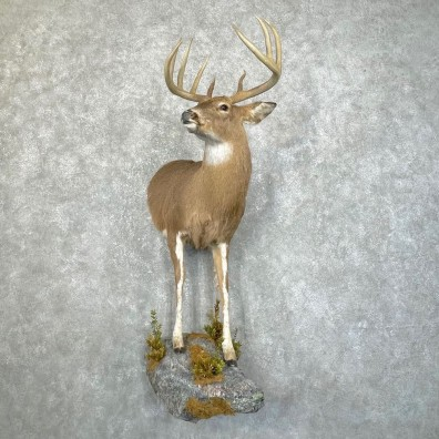 Piebald Whitetail Deer Half Life-Size Mount #24211 For Sale - The Taxidermy Store