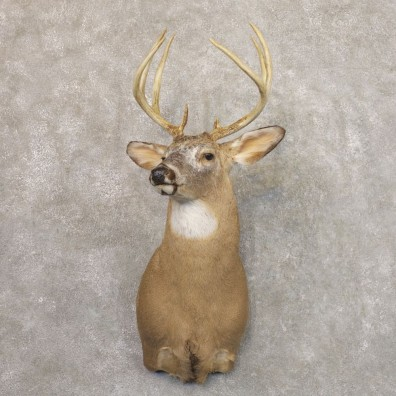 Piebald Whitetail Deer Taxidermy Shoulder Mount For Sale #22176 @ The Taxidermy Store