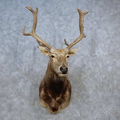 Pére David's Deer Shoulder Mount For Sale #15580 @ The Taxidermy Store