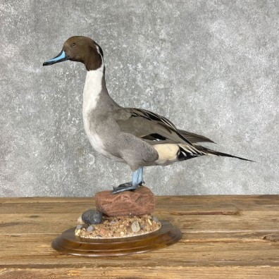 Pintail Duck Bird Taxidermy Mount For Sale #25451 @ The Taxidermy Store