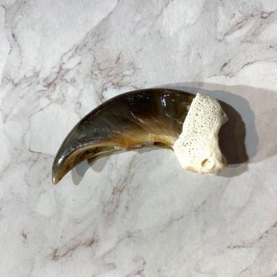 Polar Bear Claw Taxidermy For Sale #20649 - The Taxidermy Store