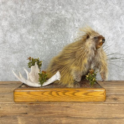 Porcupine Life-Size Mount For Sale #24842 @ The Taxidermy Store