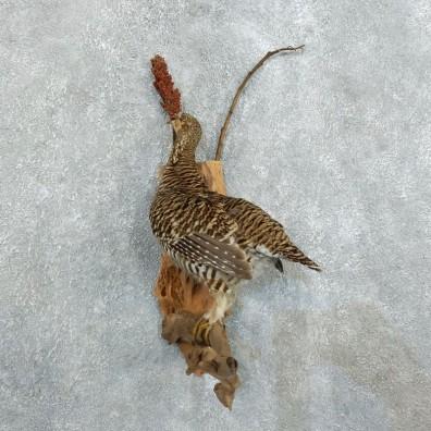 Prairie Chicken Bird Mount For Sale #18369 @ The Taxidermy Store