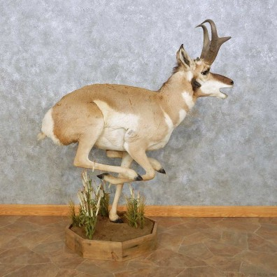 Pronghorn Antelope Life Size Taxidermy Mount For Sale #14076 For Sale @ The Taxidermy Store