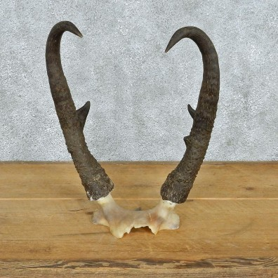 Pronghorn Taxidermy Skullcap & Horns Mount #12564 For Sale @ The Taxidermy Store