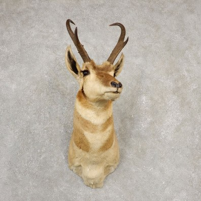 Pronghorn Antelope Shoulder Mount For Sale #20528 @ The Taxidermy Store