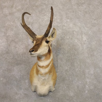 Pronghorn Antelope Shoulder Mount For Sale #22161 @ The Taxidermy-Store