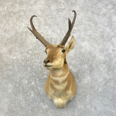 Pronghorn Antelope Shoulder Mount For Sale #25164 @ The Taxidermy-Store