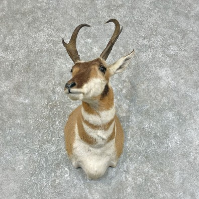 Pronghorn Antelope Shoulder Mount For Sale #25431 @ The Taxidermy-Store