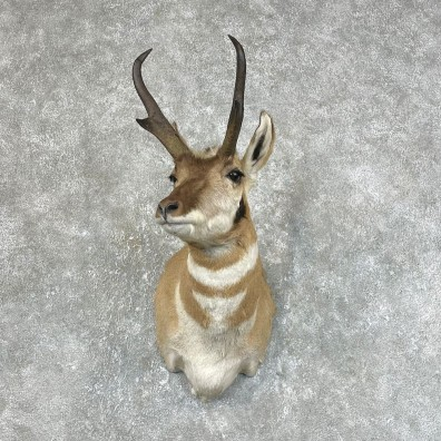 Pronghorn Taxidermy Shoulder Mount #25432 For Sale @ The Taxidermy Store