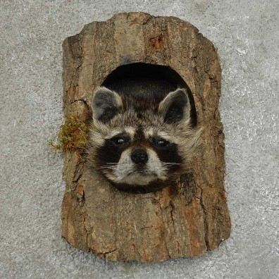 Raccoon Head Novelty Mount For Sale #16860 @ The Taxidermy Store