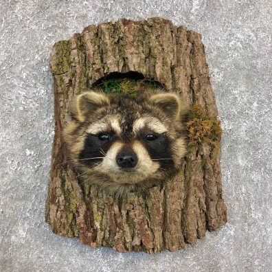 Raccoon Head Novelty Mount For Sale #19863 @ The Taxidermy Store