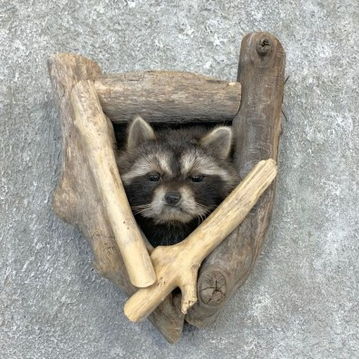 Raccoon Shoulder Mount For Sale #23367 @ The Taxidermy Store