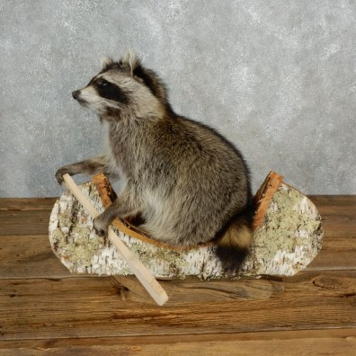 Canoeing Raccoon Novelty Mount For Sale #17842 @ The Taxidermy Store