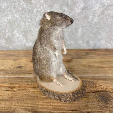 Rat Life-Size Mount For Sale #24454 @ The Taxidermy Store