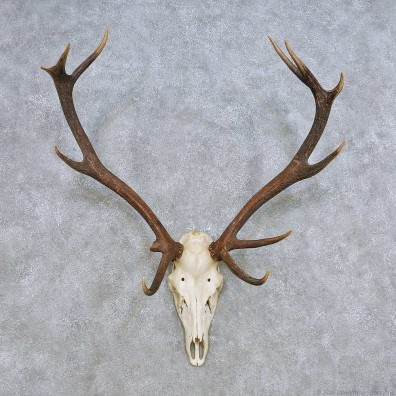 European Red Deer Skull Antler Mount For Sale #14428 @ The Taxidermy Store