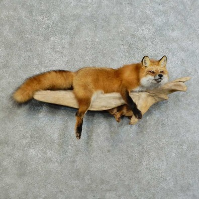 Red Fox Life-Size Mount For Sale #16127 @ The Taxidermy Store