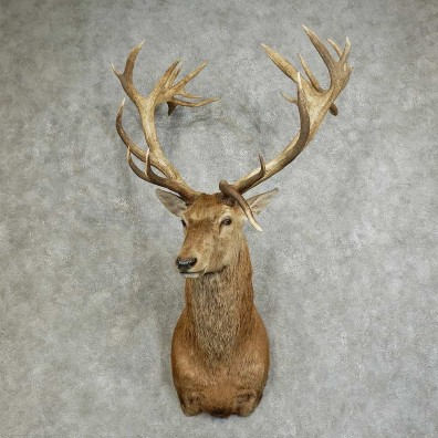 South Pacific Red Stag Shoulder Mount For Sale #16091 @ The Taxidermy Store