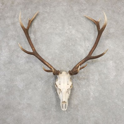 Red Deer Skull Antler European Mount For Sale #20323 @ The Taxidermy Store