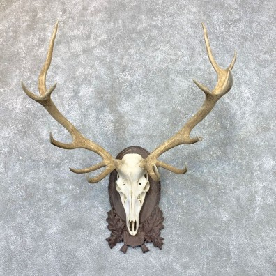 Red Deer Skull Antler European Mount For Sale #22570 @ The Taxidermy Store