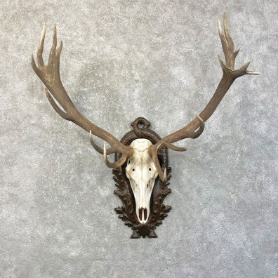 Red Deer Skull Antler European Mount For Sale #24624 @ The Taxidermy Store