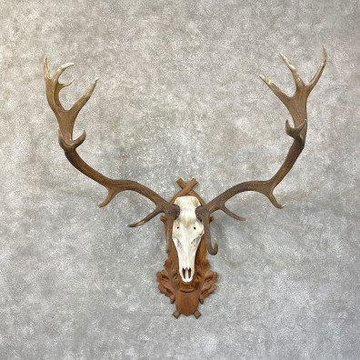 Red Deer Skull Antler European Mount For Sale #25140 @ The Taxidermy Store