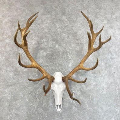 Red Deer Stag Skull European Mount For Sale #24199 @ The Taxidermy Store