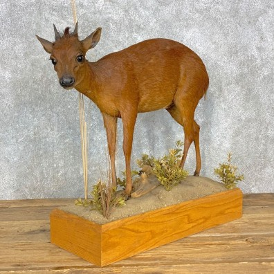 Red Duiker Life-Size Mount For Sale #23310 @ The Taxidermy Store