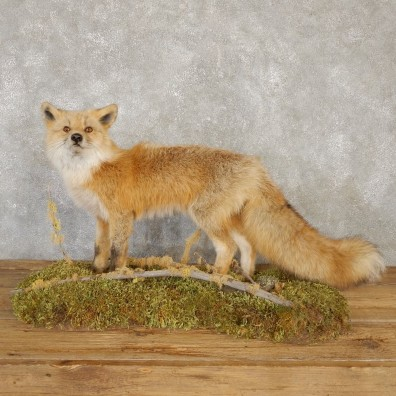 Red Fox Life-Size Mount For Sale #20111 @ The Taxidermy Store