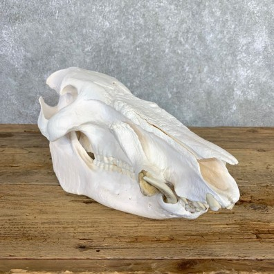 Red River Hog Full Skull Mount #21539 For Sale @ The Taxidermy Store