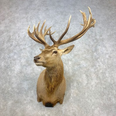 Red Stag Shoulder Mount For Sale #21647 @ The Taxidermy Store