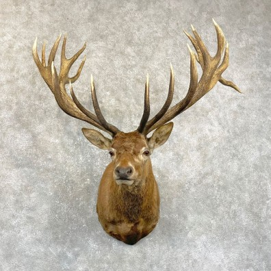 Red Stag Shoulder Mount For Sale #24944 @ The Taxidermy Store