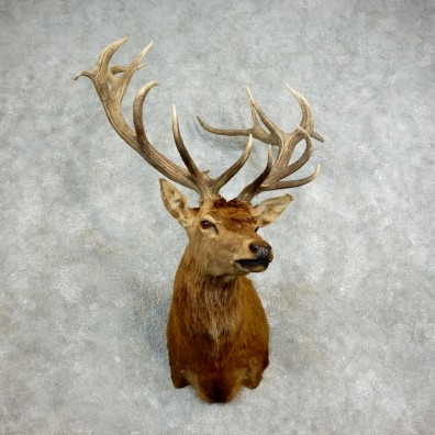 Red Stag Shoulder Mount For Sale #17704 @ The Taxidermy Store