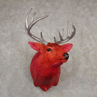 Legendermy Red Whitetail Deer Shoulder Mount For Sale #20516 @ The Taxidermy Store