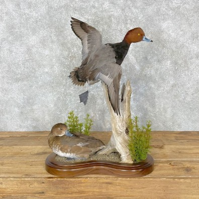 Redhead Duck Mount For Sale #24457 @ The Taxidermy Store