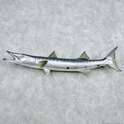 Replica Barracuda Taxidermy Fish Mount #13047 For Sale @ The Taxidermy Store