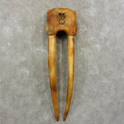 Walrus Replica Skull & Tusks Mount For Sale #17411 @ The Taxidermy Store