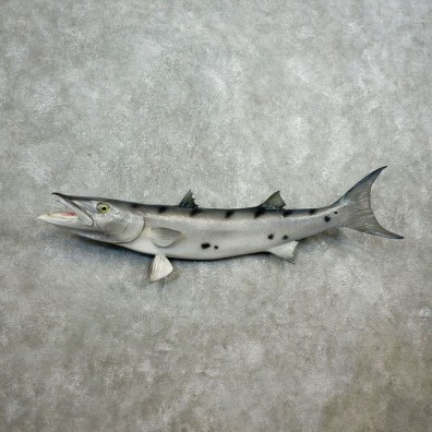 Replica Barracuda Fish Mount #17796 For Sale @ The Taxidermy Store
