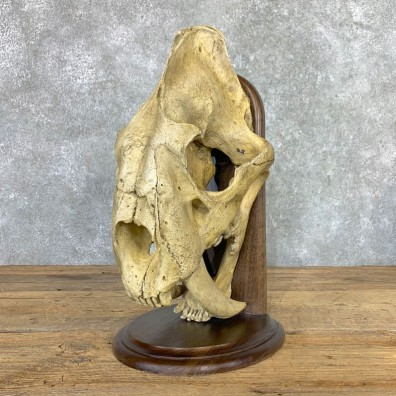 Reproduction Saber Tooth Tiger Skull #22995 @ The Taxidermy Store