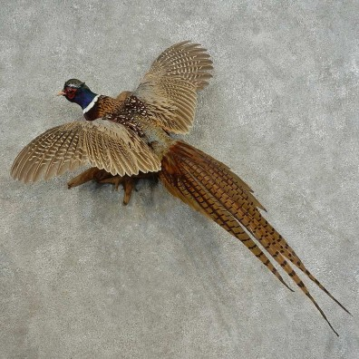 Ringneck Pheasant Bird Mount For Sale #16673 @ The Taxidermy Store