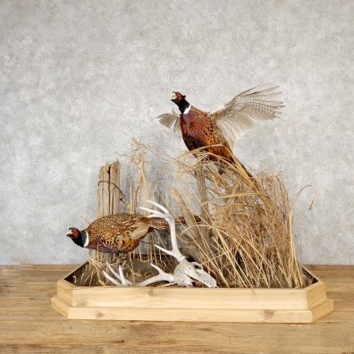 Ringneck Pheasant Bird Mount For Sale #19173 - The Taxidermy Store