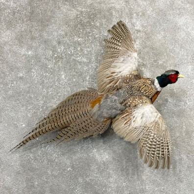 Ringneck Pheasant Bird Mount For Sale #24779 @ The Taxidermy Store