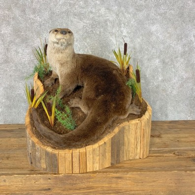 River Otter Life-Size Mount For Sale #23660 @ The Taxidermy Store
