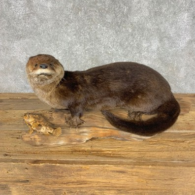 River Otter Taxidermy Mount #21425 For Sale @ The Taxidermy Store