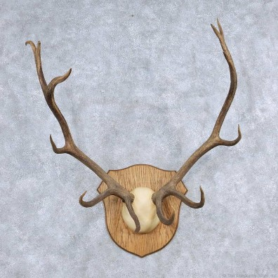Elk Antler Taxidermy Mount For Sale #13930 For Sale @ The Taxidermy Store